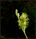 Willow flower with adjustment