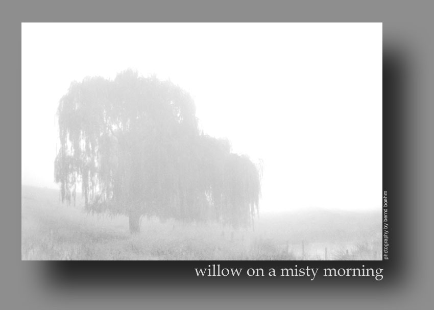 willow on a misty morning