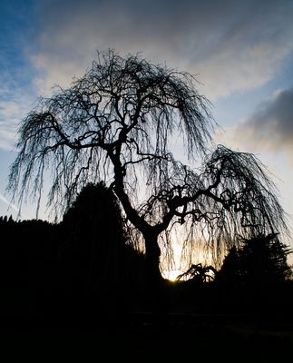 Willow Tree at Sunset