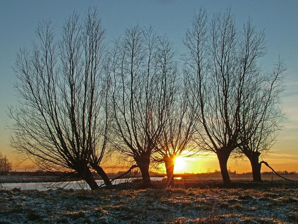 Willows in the evening