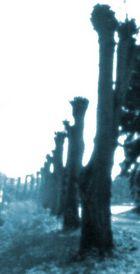 Willowy (Pinhole)