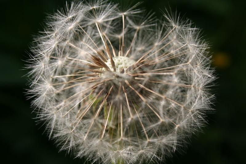 Windblümchen