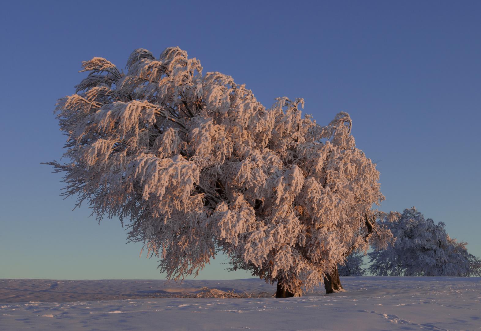 Windbuchen - der letzte schöne Wintertag