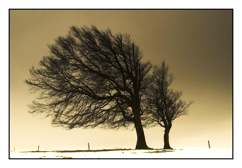 Windbuchen
