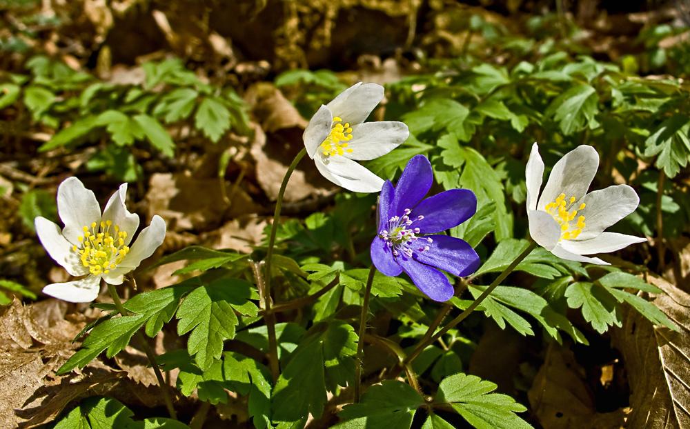 Windbuschröschen mit Leberblümchen