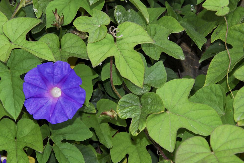 Winden-Blüte