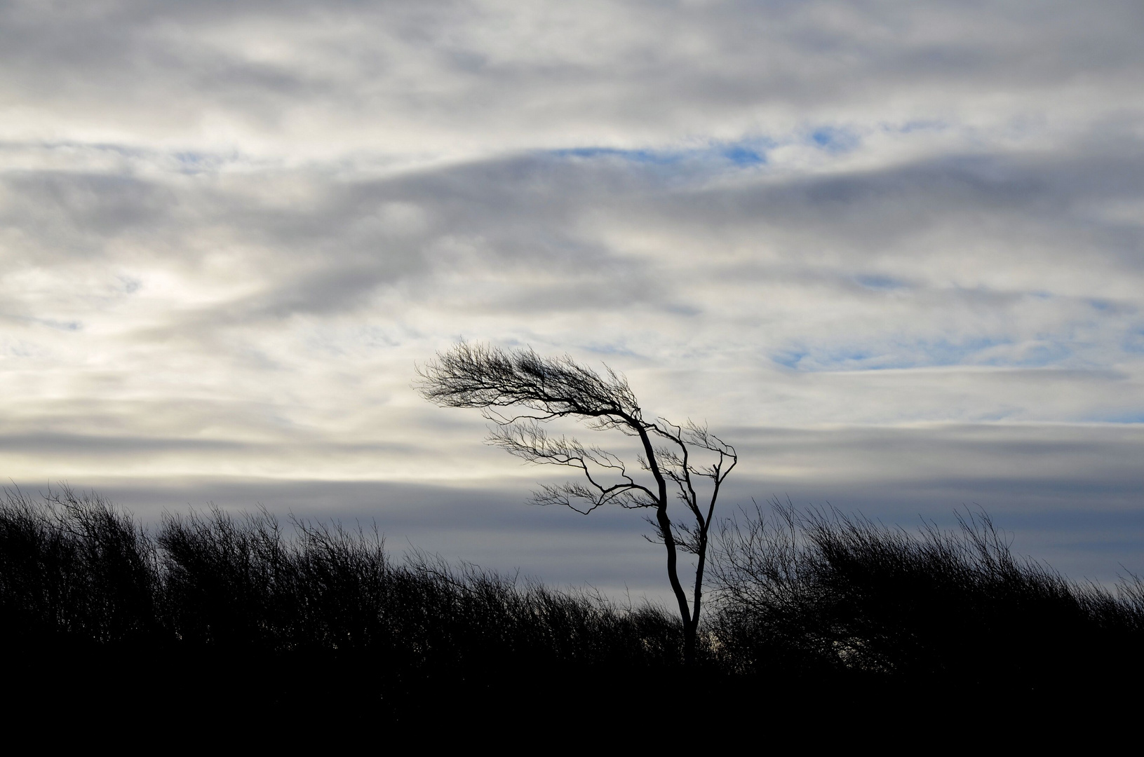 Windflüchter auf dem Darss