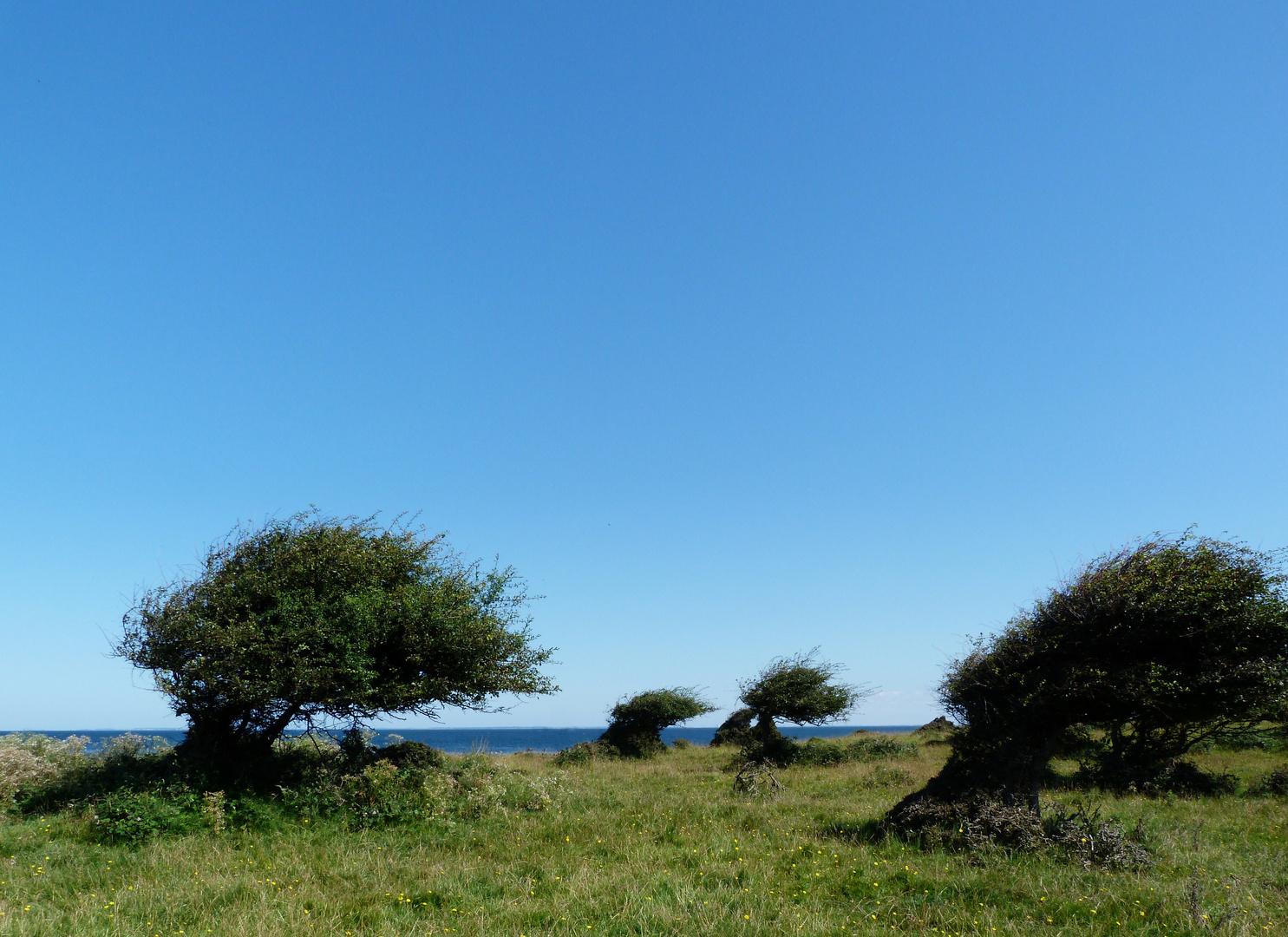 Windflüchter auf Hindsholm (Fünen)