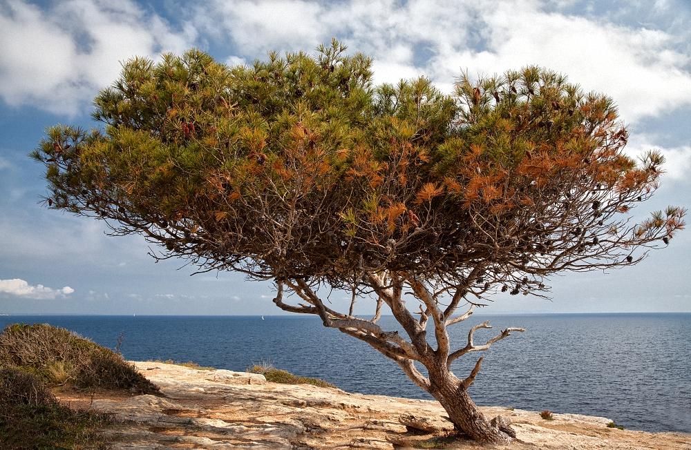 Windflüchter bei Cala Pi