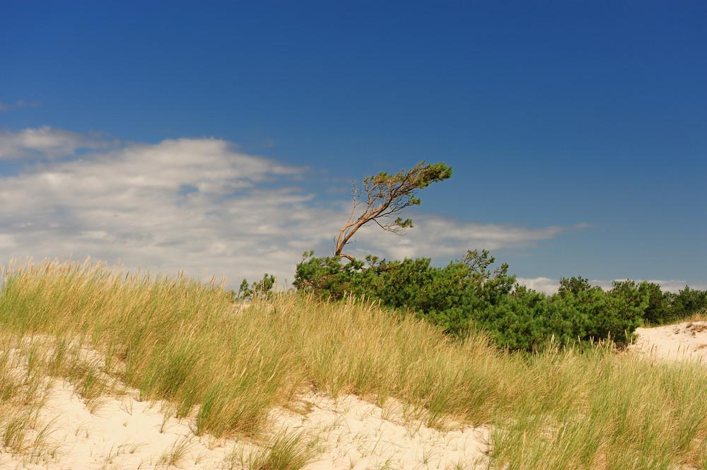 Windflüchter Weststrand