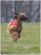 Windhundcoursing in Volkmarsen 13.04.2013