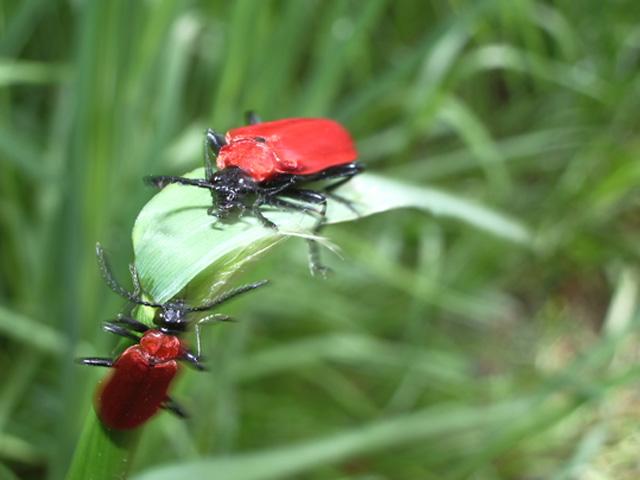 windige Käfer