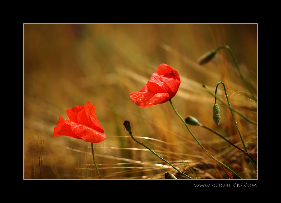 Windmohn