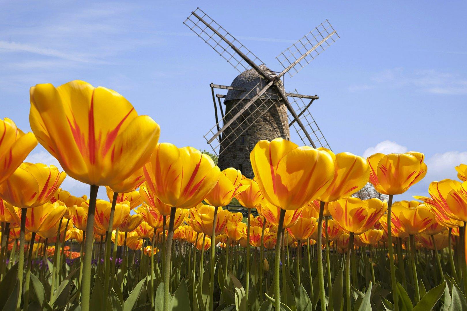 Windmühle im Tulpenfeld