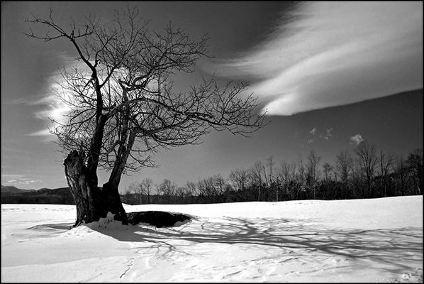 Windy Hill Apple Tree