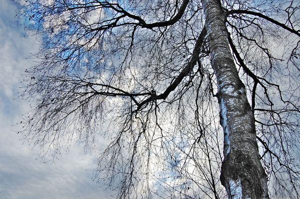 Winter-Birke