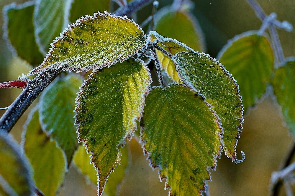 Winter - Blätter der Kirsche im Raureif Part 1