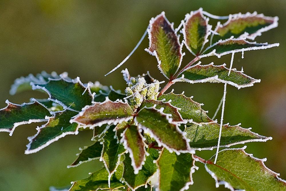 Winter - Blätter der Mahonie im Raureif