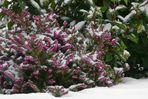 Winter colours (3) : Winter heather