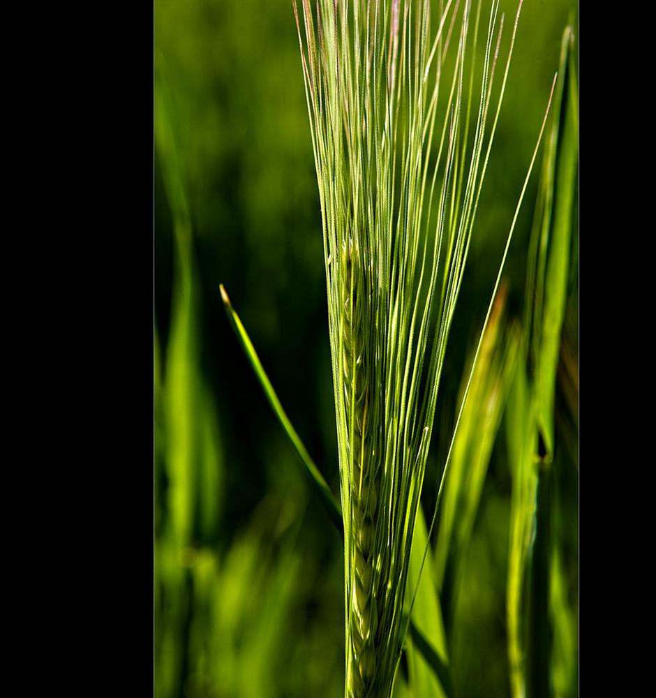 (Winter-)Gerste (Hordeum vulgare)