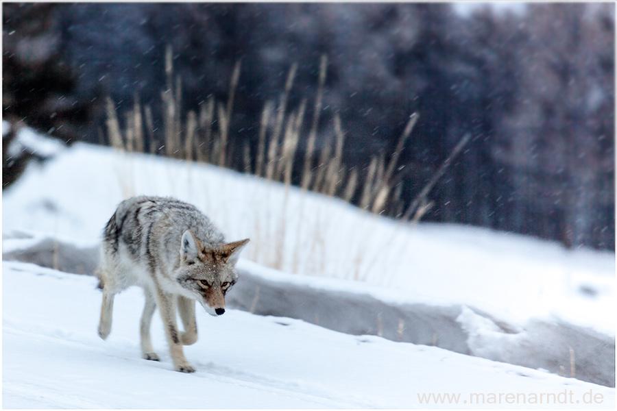 Winter im Yellowstone