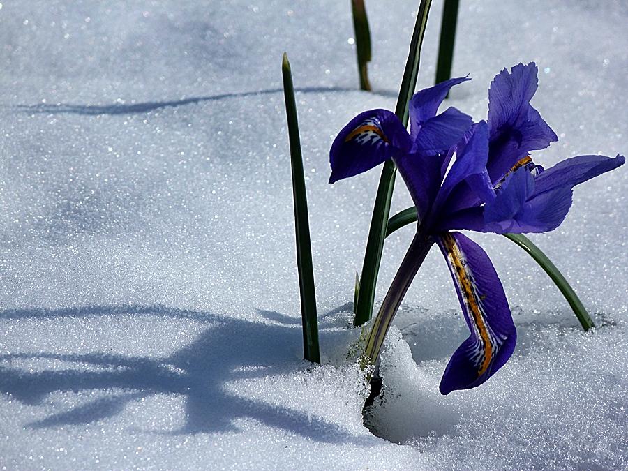 Winter-Iris.