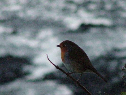 ' Winter Robin '