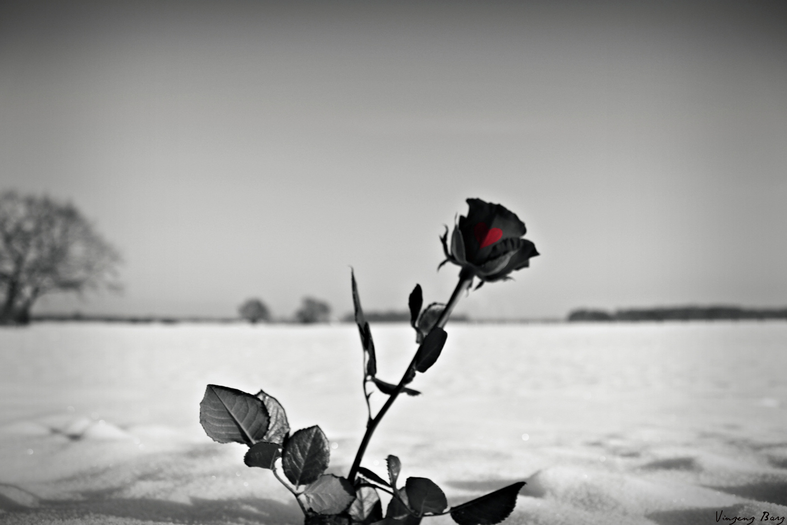 Winter-Rose