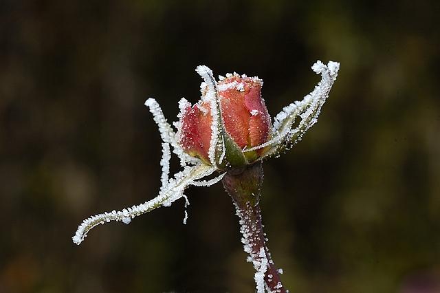 Winter Roses #2