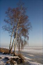 Winterbirken