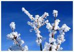 winterblüten I
