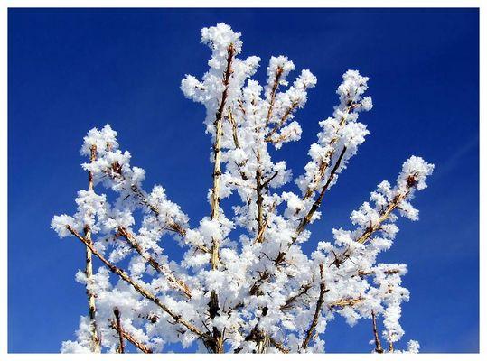 winterblüten II