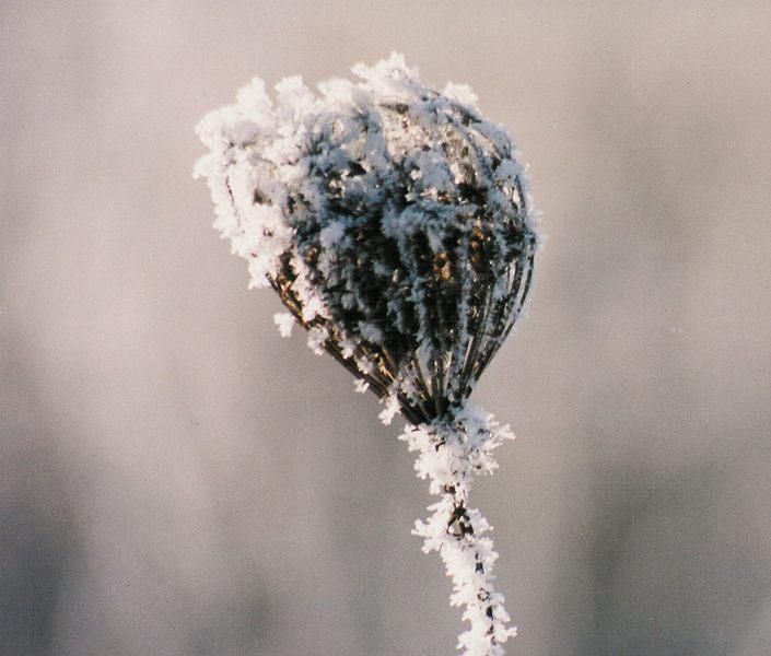 Winterblume.