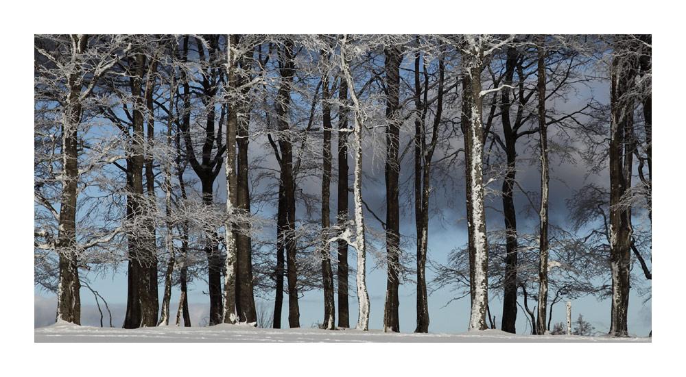 Winterbuchenwald