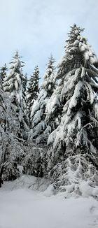 Winterfichten