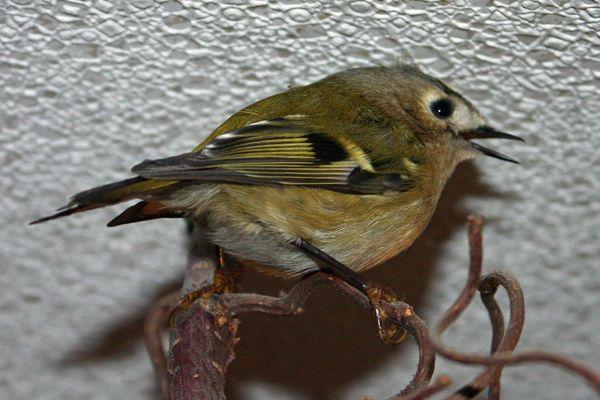 Wintergoldhähnchen - Besuch (Regulus regulus)