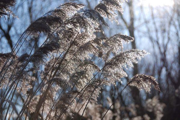 Wintergräser 3