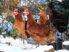Winterhühner