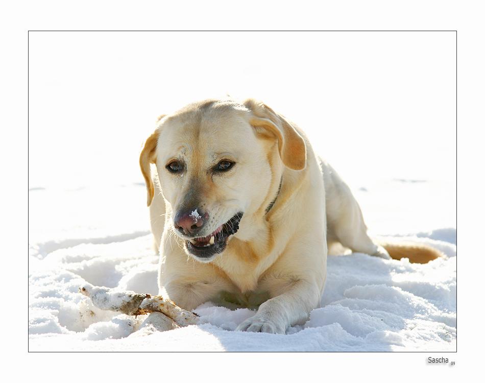 Winterhund.