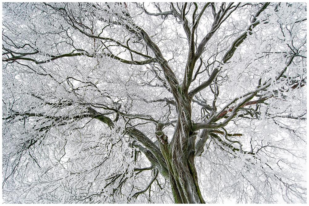 Winterkrone von alten Baum