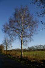 Winterliche Birke