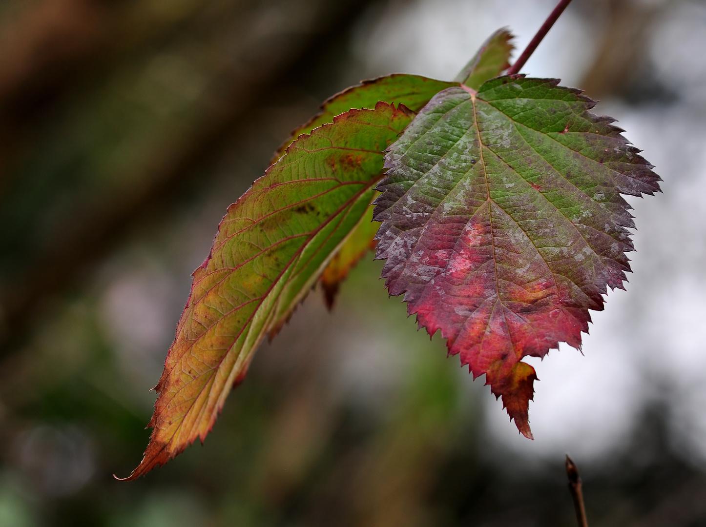 Winterliche Brombeerblätter