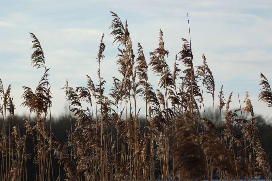 Winterliche Gräser am See