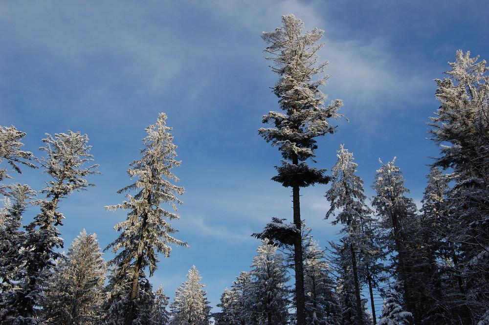Winterliche Nadelbäume