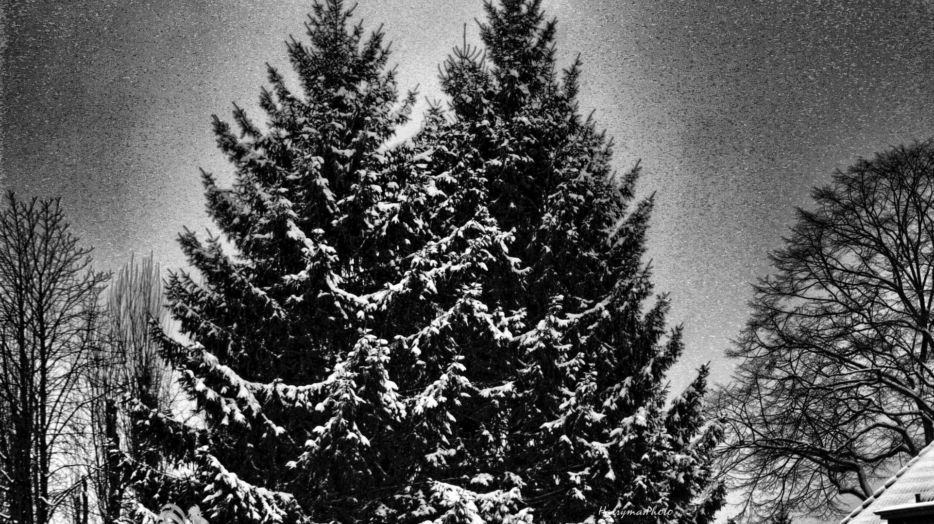 Winterliche Nadelbäume in meiner Nachbarschaft