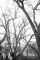Winterliches Baumgewirr im Bulmker Park (schwarzweiss)