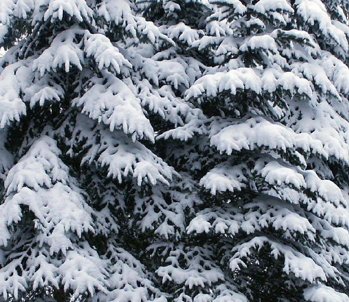 Winterliches Schneedach auf den Zweigen