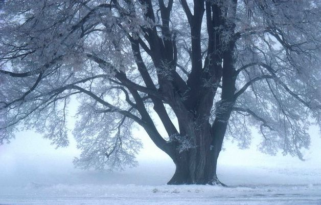 Winterlinde bei Dettingen