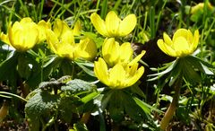 Winterling (Eranthis)