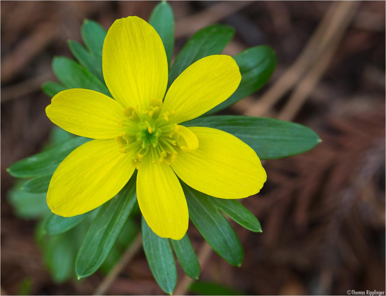 Winterling (Eranthis hyemalis; Syn.: Eranthis hiemalis L.)